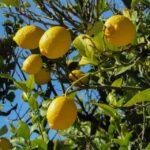 Egyszerűen megoldható a citromfa vásárlás
